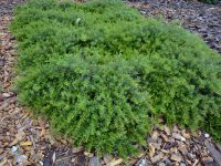 Grevillea obtusifolia 'Gin Gin Gem' is a hardy ground cover