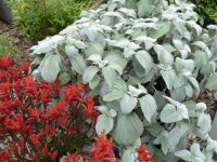 Plectranthus nitidus - silver Plectranthus is a good plant for shade as well as sun