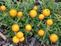 Xerochrysum bracteatum 'Everlasting Gold' is a great small flowering plant
