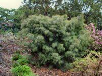Acacia cognata 'Burgundy Cascade'