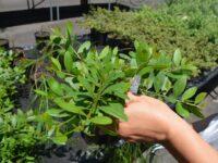 Acacia myrtifolia prostrate form
