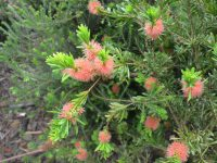 Callistemon 'Tangerine Dream'