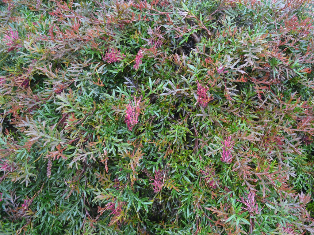 Grevillea 'Bronze Rover' is a superb australian ground cover
