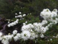 Kunzea ambigua - tick bush is an attractive medium sized hrub