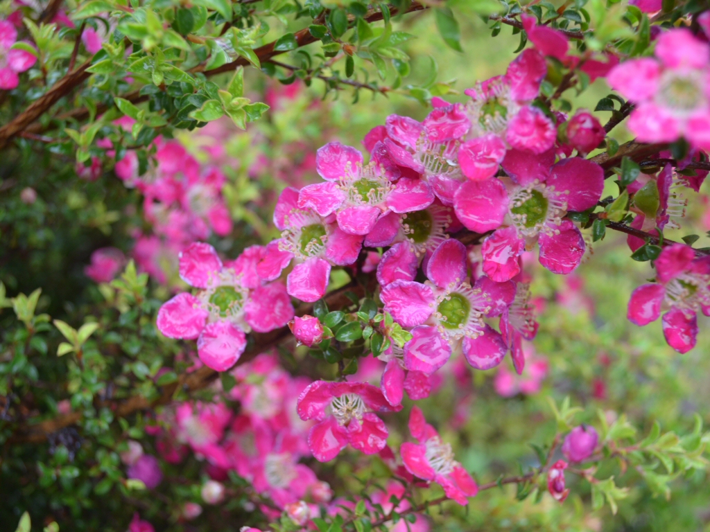 Leptospermum 'Riot' tea tree is good for cut flowers