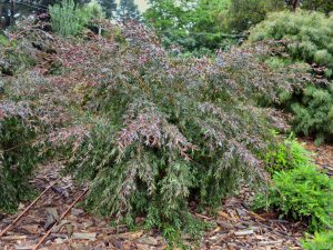 Leptospermum polygalifolium tea tree 'Copper Glow'