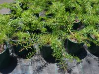 Melaleuca nodosa prostrate form from mid coast NSW