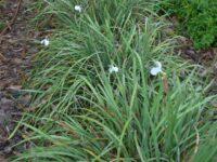 Patersonia occidentalis - Native Iris