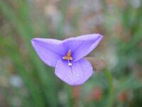 Patersonia occidentalis- native iris