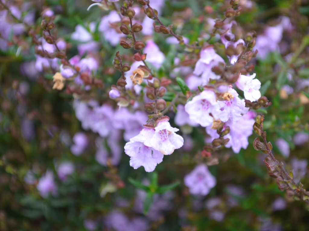 Prostanthera 'Mauve Mantle'