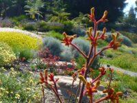 Anigozanthos kangaroo paw 'Landscape Gold'