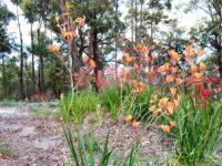 Anigozanthos kangaroo paw 'Landscape Tangerine'