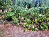 Banksia serrata - Old Man Banksia