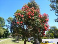 Corymbia ficifolia - Flowering Gum