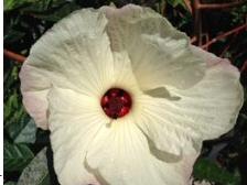 Hibiscus hybrid 'Aussie Choice'