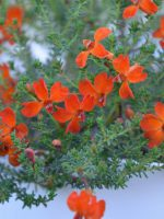 Lechenaultia Formosa 'Stirling Orange' an Australian native ground cover