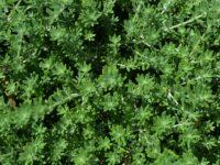 Westringia fruticosa 'Zena'