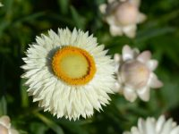 Xerochrysum bracteatum 'Lucky Penny' is a profuse flowering dwarf everlasting daisy