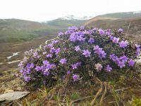 rhododendron growing wild yunnan