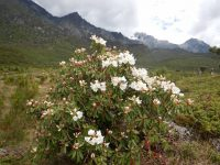 rhododendron growing wild yunnan china