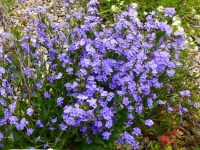 Dampiera stricta - blue Dampiera