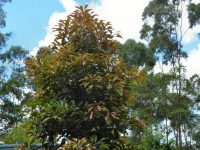 Elaeocarpus eumundi - Eumundi quandong is a great street tree