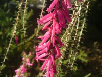 Epacris impressa -common heath is a lovely Australian native cut flower