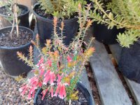 Epacris longiflora x reclinata - fuchsia heath 'Pan Pipes'