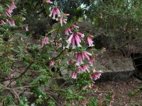 Epacris longiflora - fuchsia heath grows on the central coast of new south wales