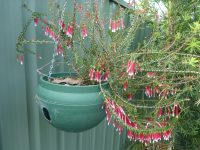 Epacris longiflora - fuchsia heath growing in a hanging basket