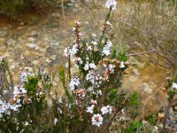 Epacris microphylla - Coral Heath