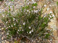 Epacris microphylla - Coral Heath