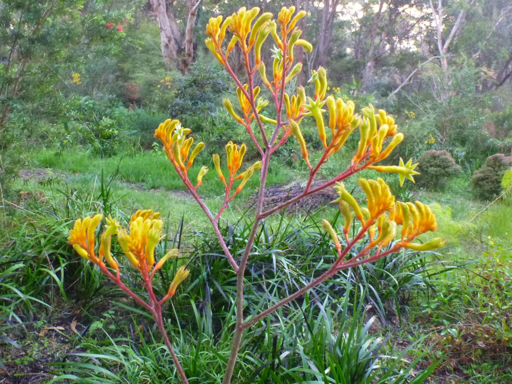 Anigozanthos 'Landscape Gold' - kangaroo paw is a great australian native cut flower