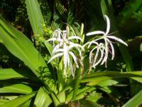 Crinum pedunculatum - swamp lily