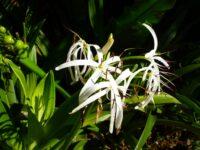 Crinum pedunculatum - river lily