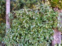 Tasmannia purpurascens - purple pepperberry has edible berries