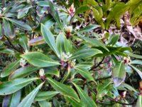 Tasmannia purpurascens -broadleaf pepperbush