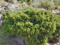 Diselma archeri - Cheshunt Pine is an attractive Tasmanian conifer