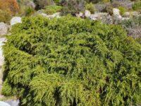 Diselma archeri - Cheshunt Pine