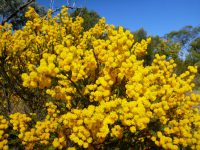 Acacia acinacea - gold dust wattle