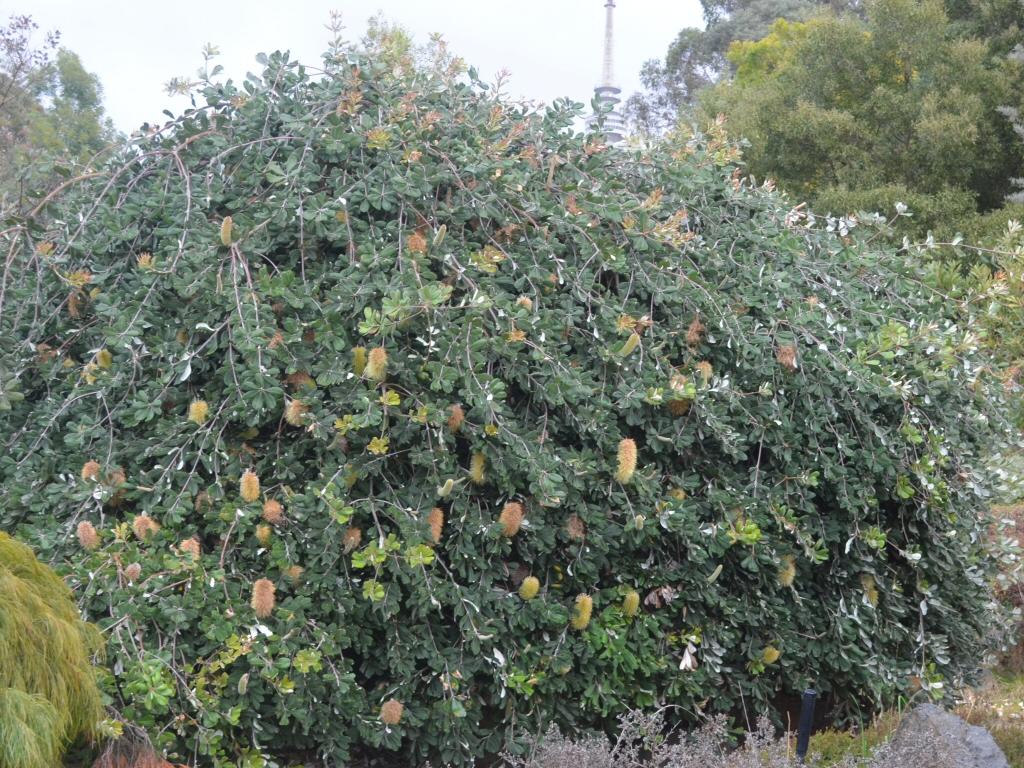 Banksia integrifolia prostrate