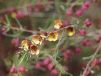 Boronia megastigma 'Virtuoso' has fragrant flowers