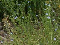 Linum marginale - Native Flax