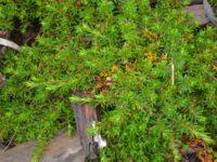 Pultenaeae pedunculata 'Pylong Pink'
