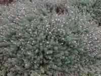 Rhodanthe anthemoides 'Star Shower'