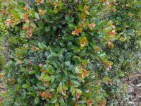 Syzygium australe 'Elite' - lilly pilly