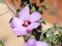 Gossypium sturtianum - Sturt's Desert Rose is the Northern Territory's floral emblem