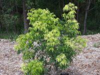 Lepiderema pulchella - Fine Leaf Tuckeroo