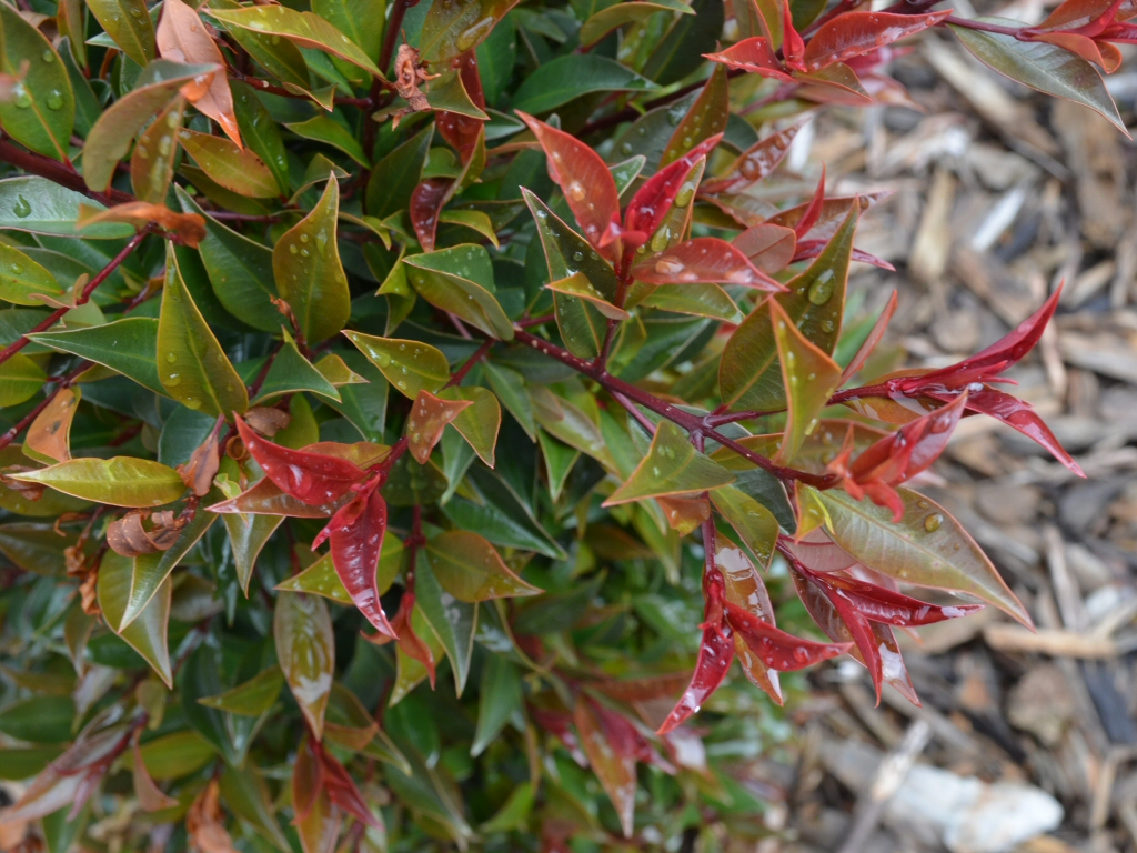 Syzygium australe 'Winter Lights'