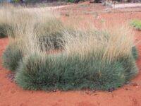 Triodia scariosa - Porcupine Grass